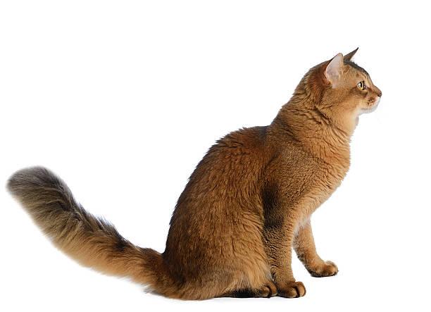 Somali cat isolated on white background picture id452592735?b=1&k=6&m=452592735&s=612x612&w=0&h=g1xjbovo 4y69x5muonckkp nmb9 rlkktau0x4elj4=
