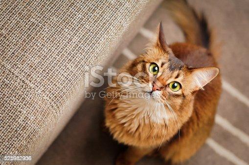 istock Somali Cat Looking Up 525982936