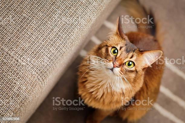 Somali cat looking up picture id525982936?b=1&k=6&m=525982936&s=612x612&h=wyqjuegnpunv3na3w6zmtee0sbufbszx8ocsrjjbcuy=