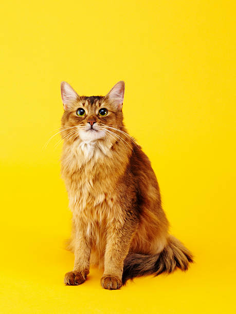 Somali cat stock photo