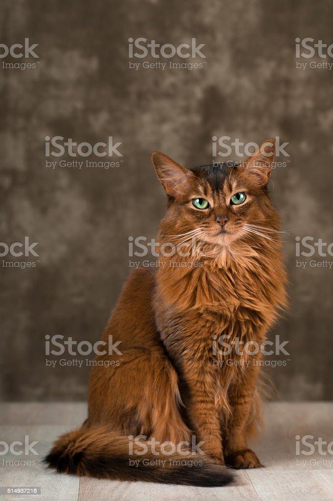 Somali cat portrait at studio stock photo
