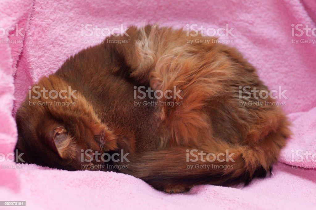 Somali cat ruddy color portrait royalty-free stock photo