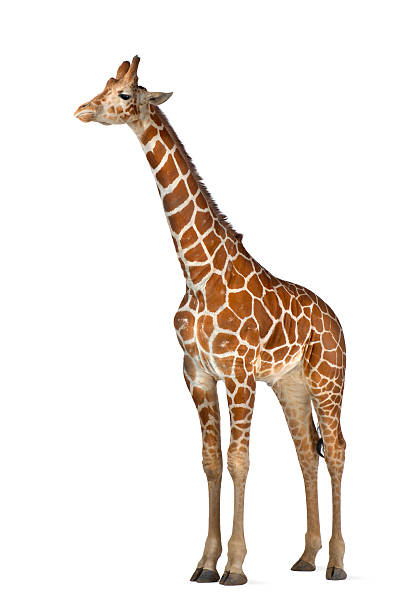 somali giraffe, commonly known as reticulated giraffe, giraffa camelopardalis reticulata - giraffe stock photos and pictures