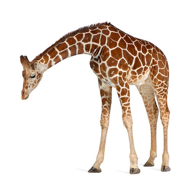 giraffa somalo - guardare verso il basso foto e immagini stock
