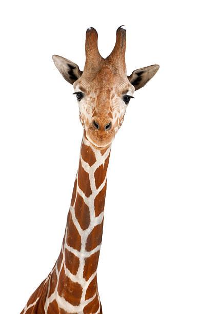 somali giraffe - giraffe stock photos and pictures