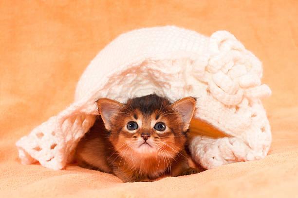 somali-kätzchen unter hut - katzenhüte häkeln stock-fotos und bilder