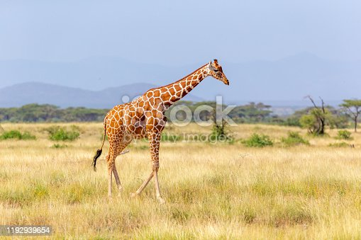 The Somalia giraffe goes over a green lush meadow