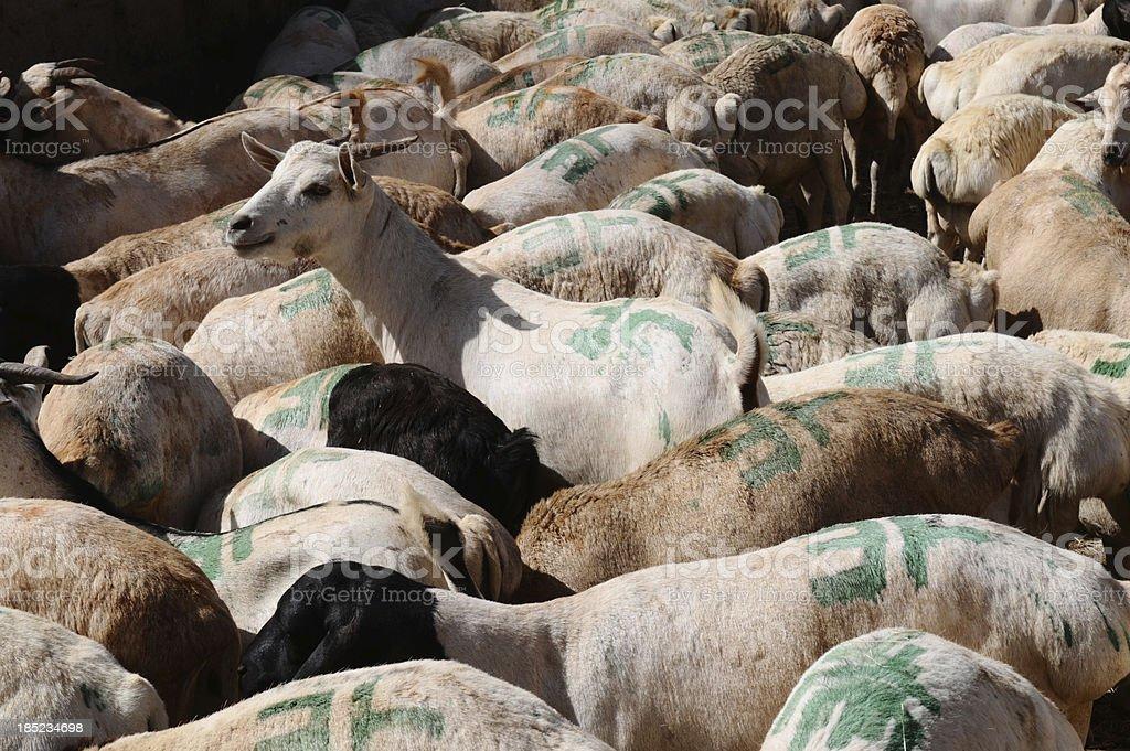Somalia, Somaliland, Burao, goats and sheep to be exported stock photo