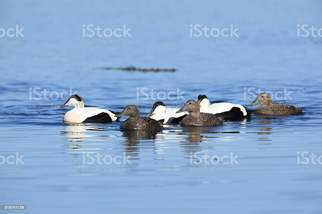 Somateria molissima, Common Eider. stock photo