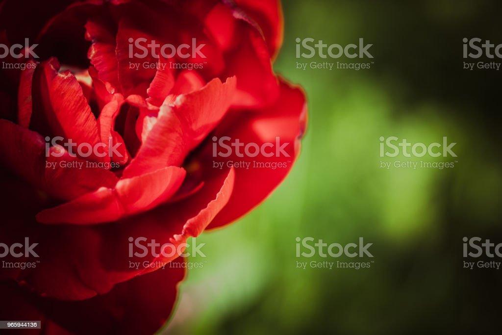 Sombre fleur, tulipe - Royalty-free Alergia Foto de stock