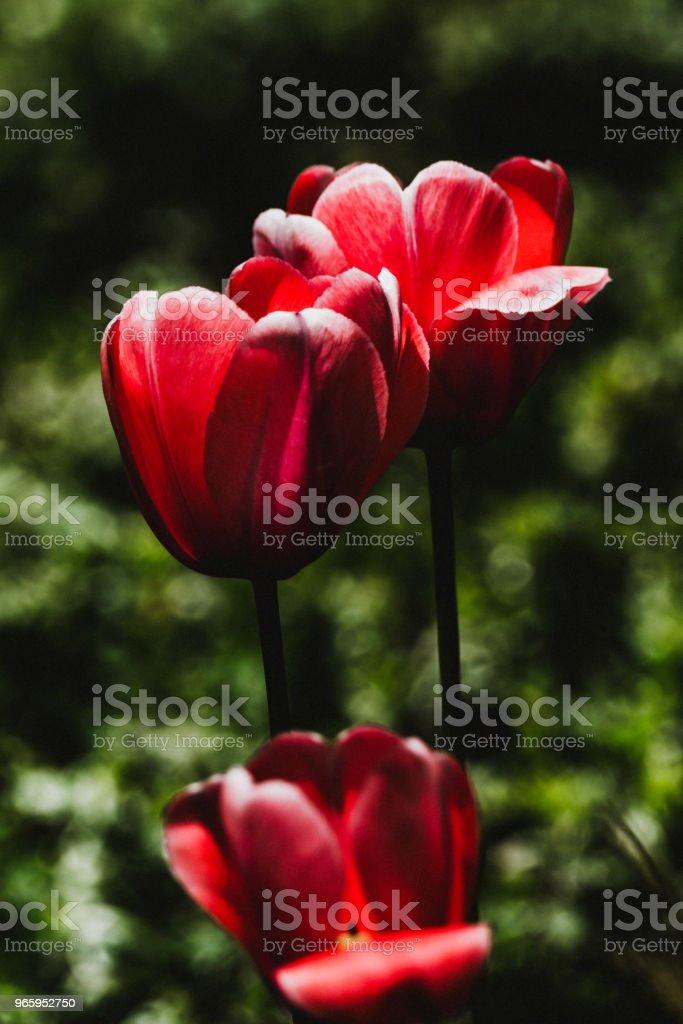 Sombere fleur, tulipe - Royalty-free Achtergrond - Thema Stockfoto