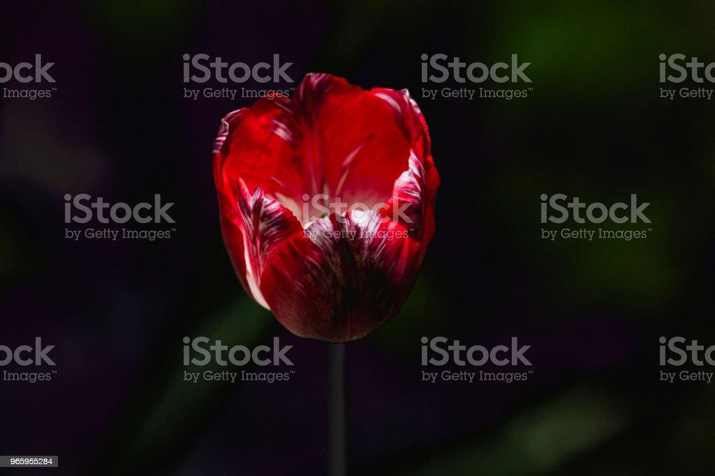 Sombre fleur, tulipe - Royalty-free Allergy Stock Photo