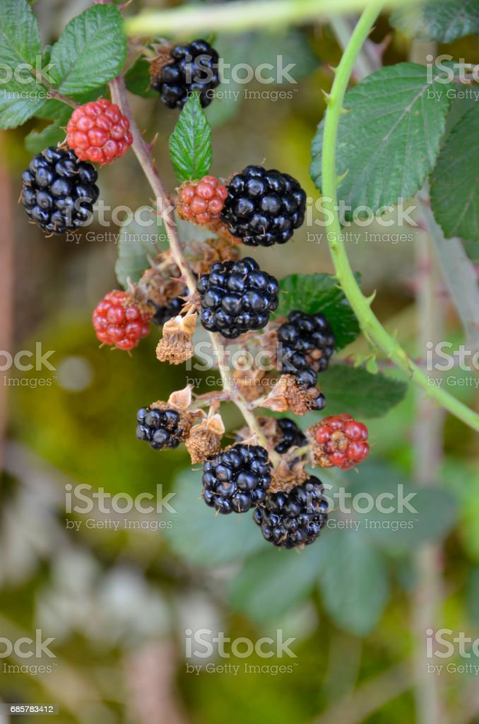 some blackberries royalty-free stock photo