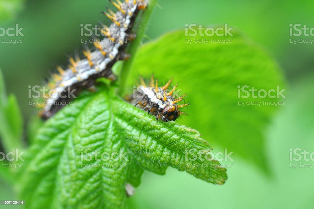 Some caterpillars make big damage to crops and fruit stock photo