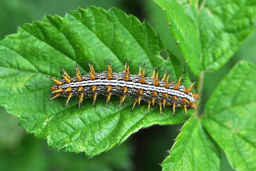 Caterpillar eats leaves.