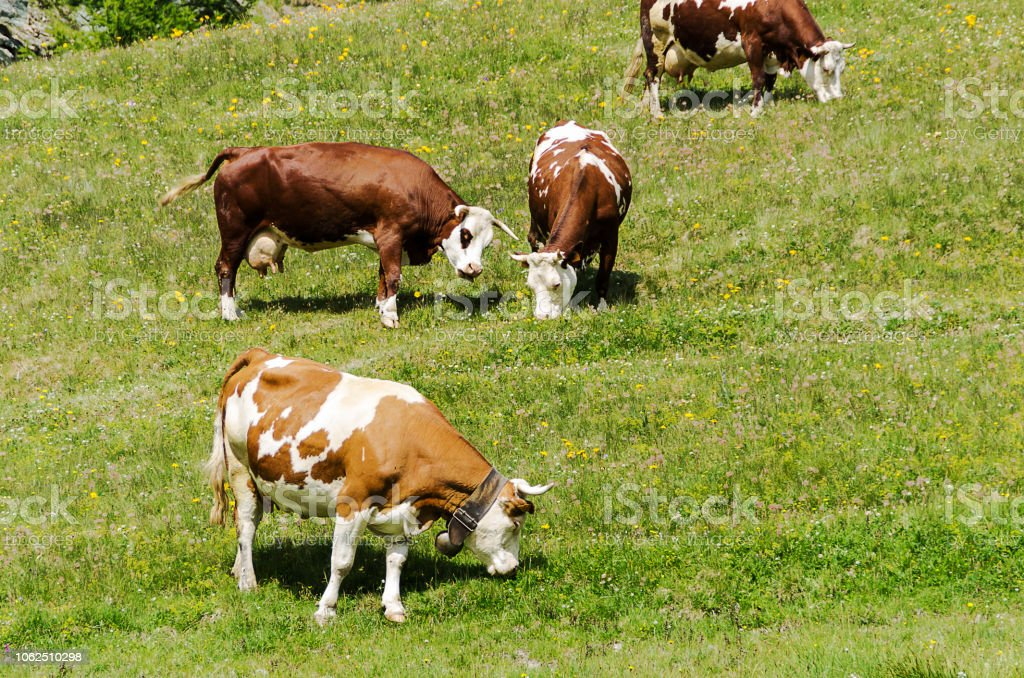 Some cows grazing in a sunny day - foto stock