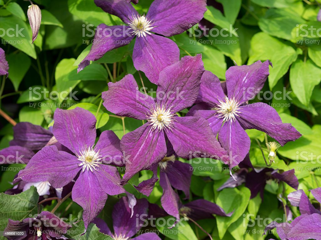 Some flowers. Clematis viticella. stock photo