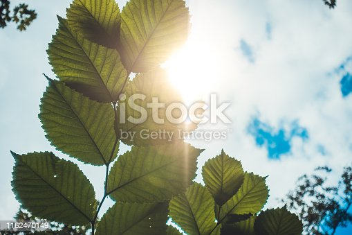 istock some leafs in the warm sunlight 1162470149