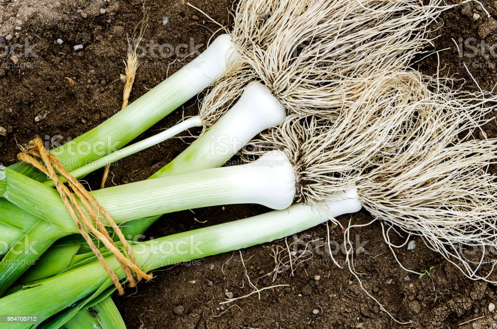 Some leeks just being harvested. - foto stock