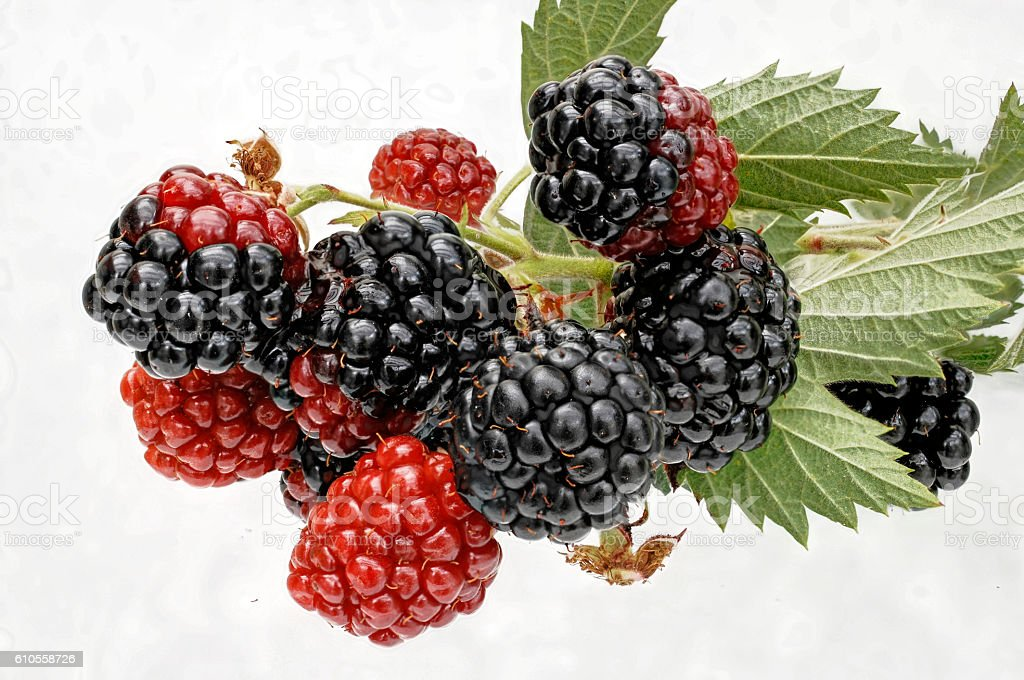 some looking ripe blackberries for cropping stock photo