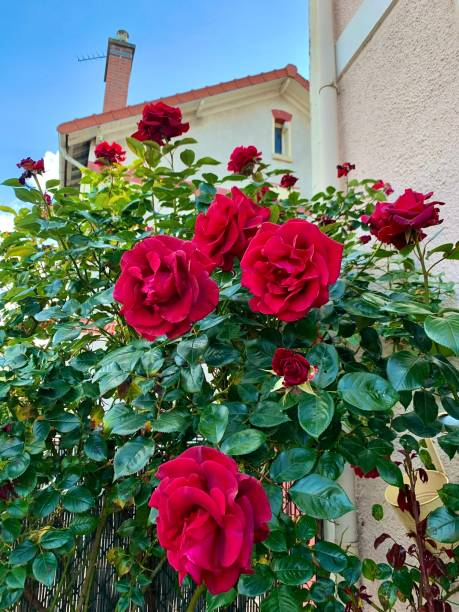 Some lovely bright roses. stock photo