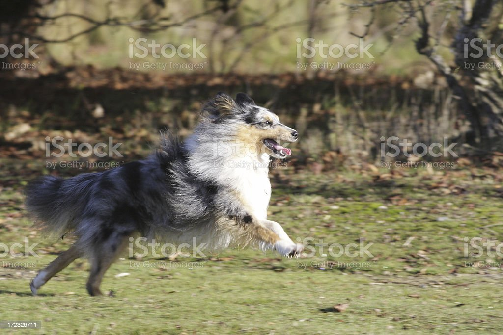 Shetland sheepdog bounding with health royalty-free stock photo