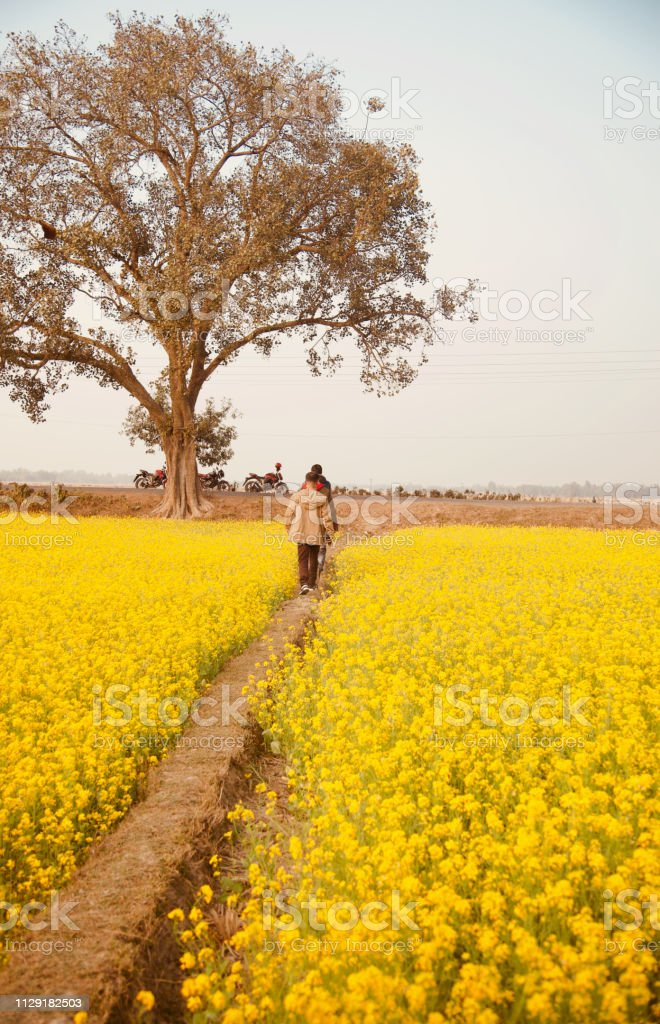Some people walking through the mustard crops field stock photo