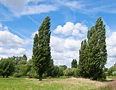 some poplars in botanic garden of Cambridge