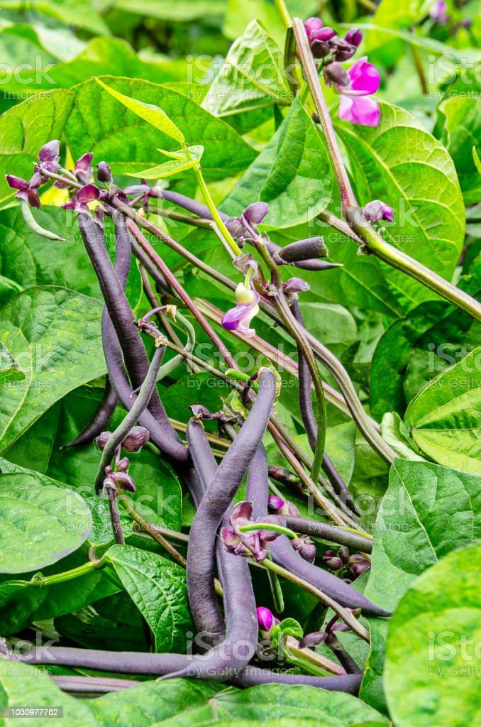 Some purple beans in a vegetable garden - foto stock