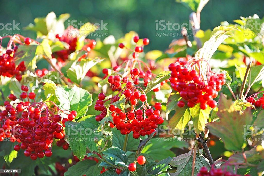 Some ripe viburnum on branch stock photo