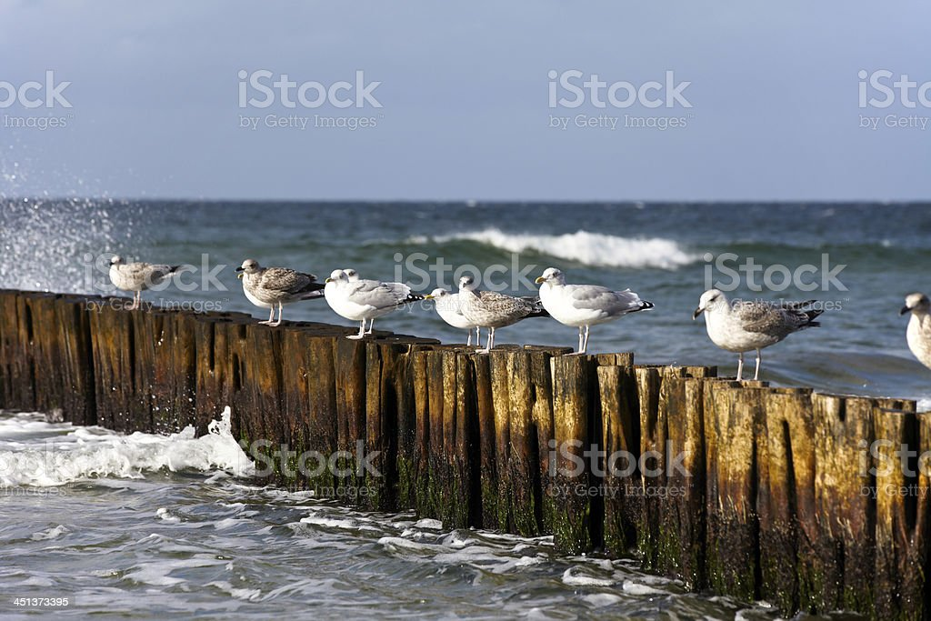 Some Seagulls on groynes royalty-free stock photo