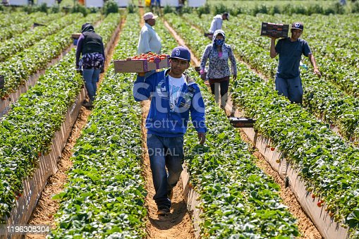 istock Some seasonal farmers work hard in the sun in a strawberry plantation in Mexico 1196308304