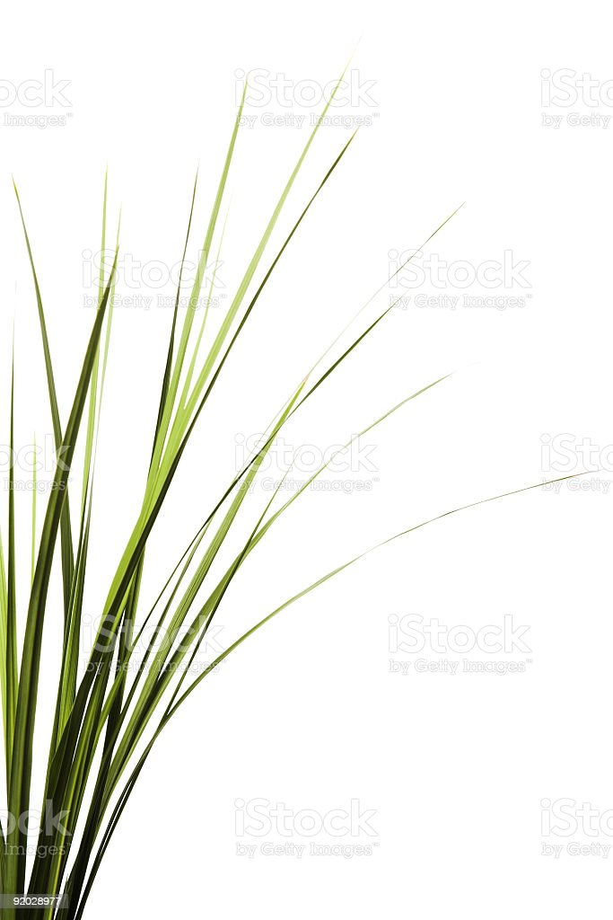 Some tall grass on a white background stock photo