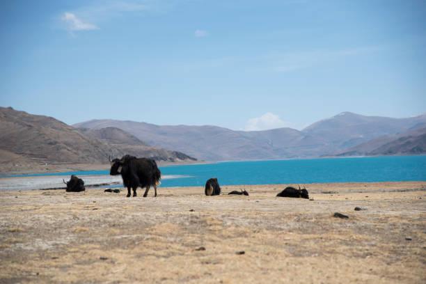 Some yaks in the wild on the Himalaya in Tibet stock photo