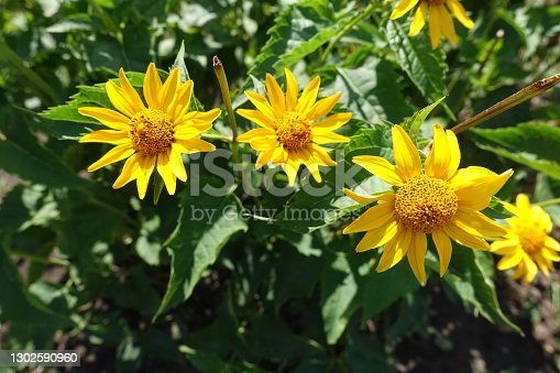 Some yellow flowers of Heliopsis helianthoides in July