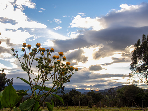 Some yellow wildflowers at sunset in the Andean mountains of central Colombia near the colonial town of Villa de Leyva.