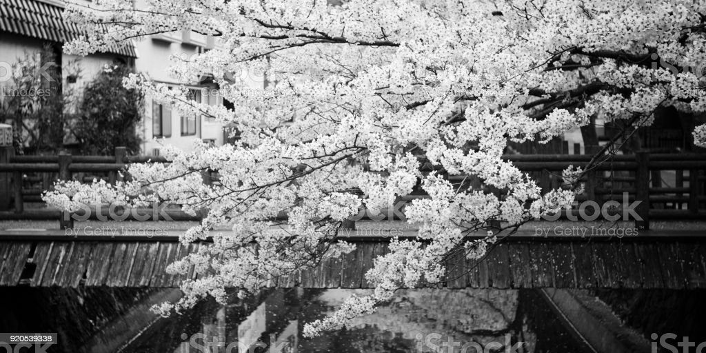 Someiyoshino (Somei-Yoshino) Cherry Blossom black and white photography from Kinosaki Onsen in Toyooka City, Hyogo, Japan. stock photo