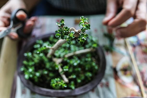 someone growing  little bonsais - Photo