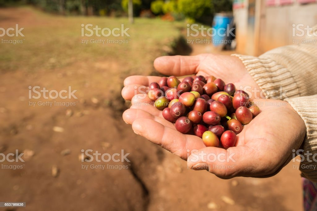 Someone holding raw coffee beans in his/her hand. - Photo