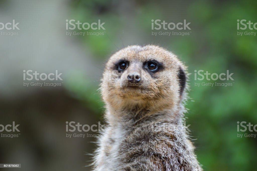 Something in the Meerkats Eyes stock photo