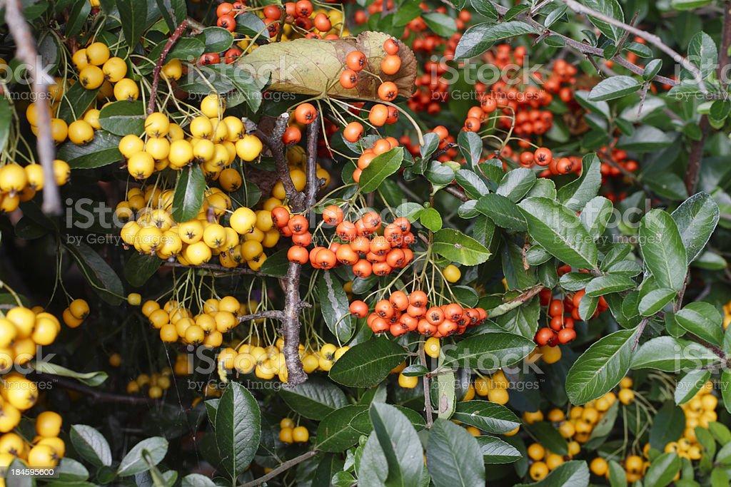 Firethorn Pyracantha Yellow Orange Berries In Autumn Stock Photo