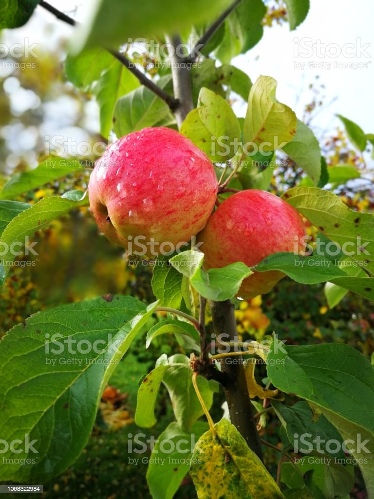 somewhat ripe apple on a branch with leaves.  background stock photo
