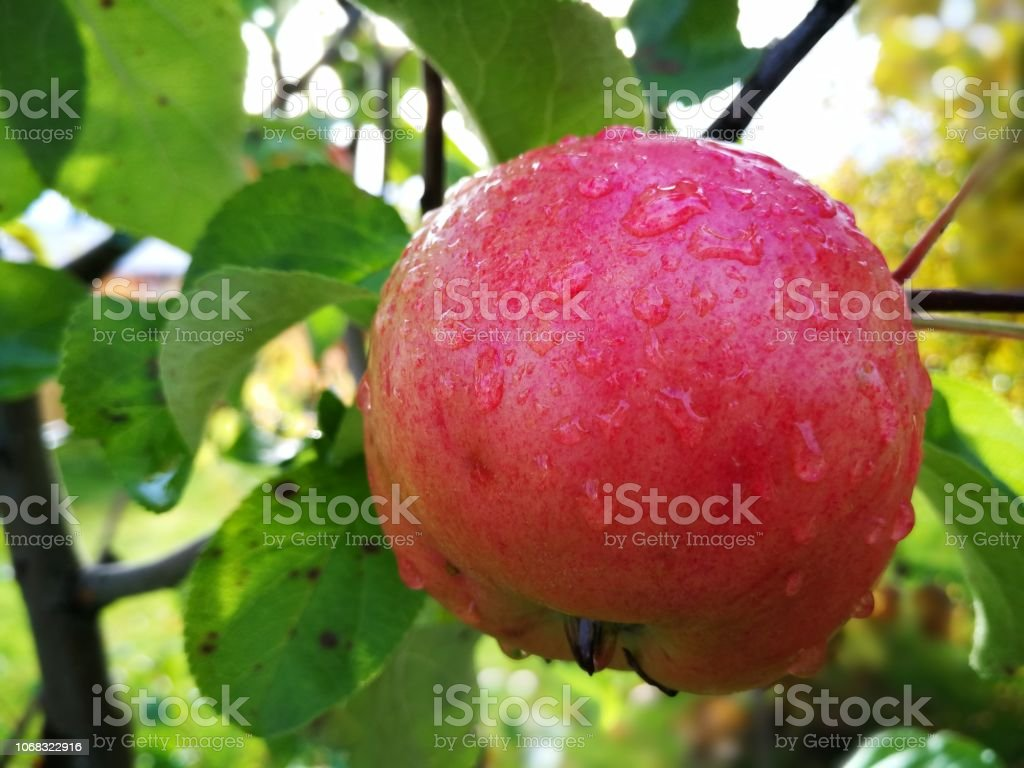 somewhat ripe apple on a branch with leaves. isolated on white background stock photo