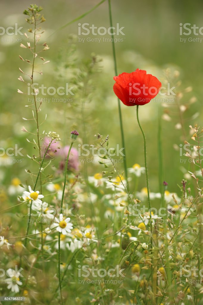 Sommerwiese stock photo