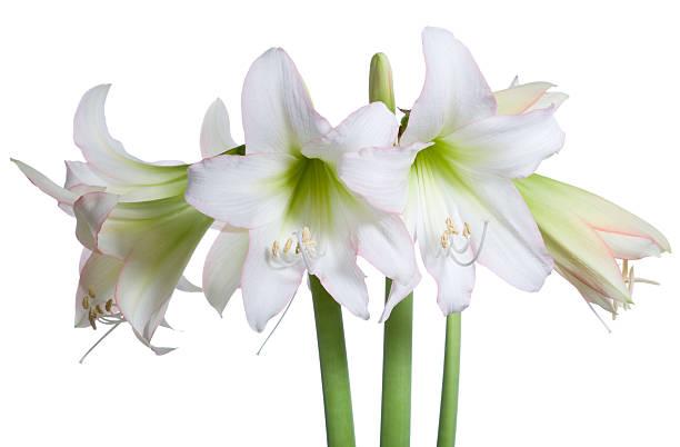 sonatini amaryllis - amaryllis photos et images de collection