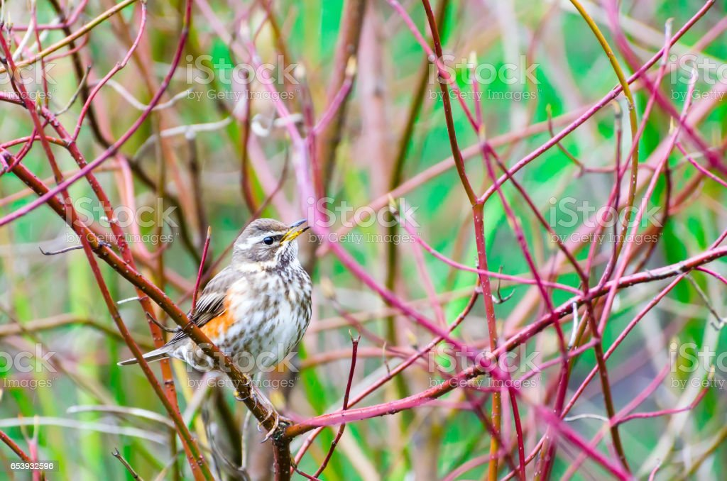 Song bird and spring forest bushes branches stock photo