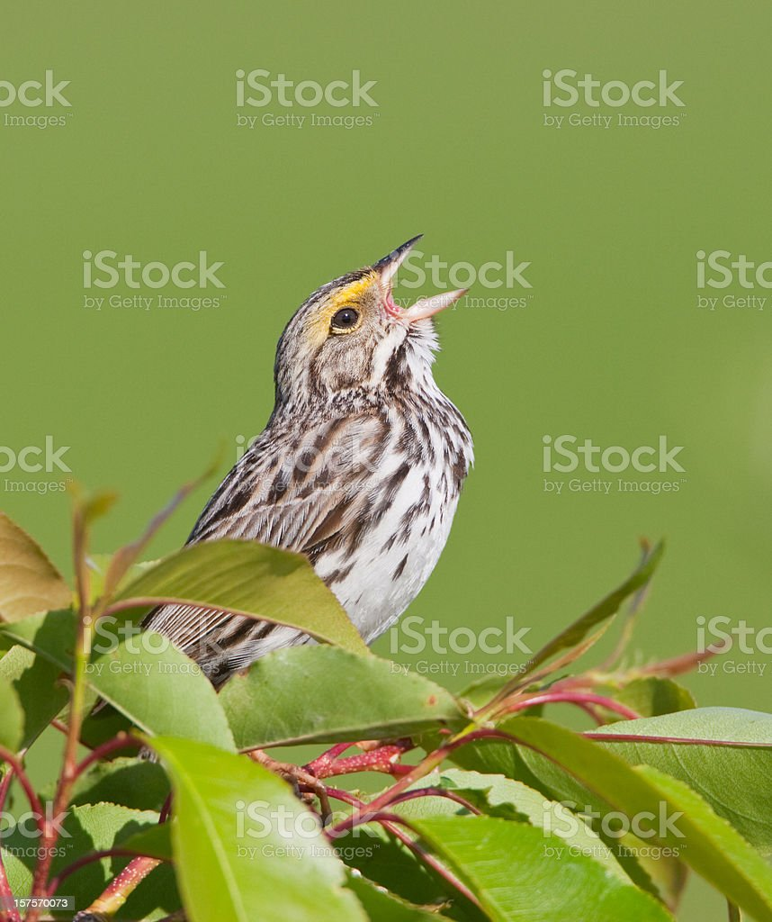 Song Bird royalty-free stock photo