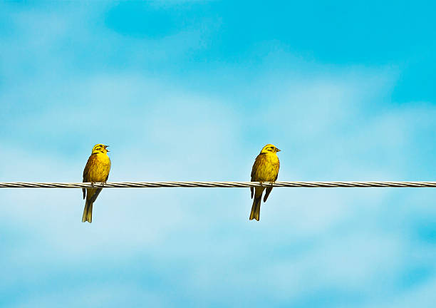 Song the bunting birds (yellow-hammer) telephone line stock pictures, royalty-free photos & images