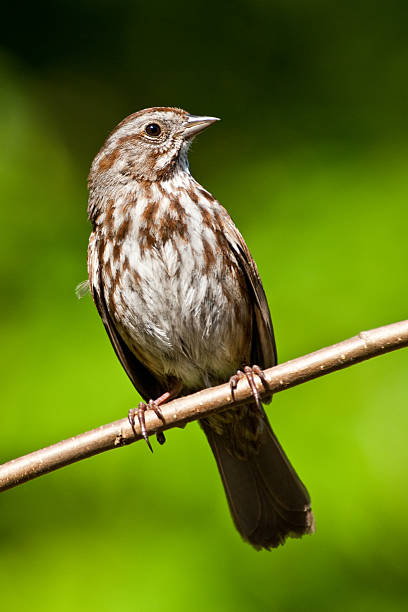 Song Sparrow in a Tree stock photo
