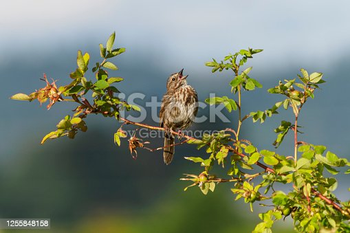 A song sparrow perched on a branch. In the Willamette Valley of Oregon. Has a soft, defocused background.
